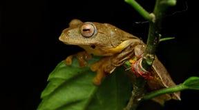 Khao Yai TreefrogRhacophorus SP , Όμορφος βάτραχος, βάτραχος, βάτραχος δέντρων, βάτραχος δέντρων στον κλάδο Στοκ Εικόνα