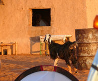 KHARTOUM, SUDAN - 22 NOVEMBER 2008: Goat in the yard. Royalty Free Stock Photography