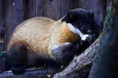 Kharza,mustelids动物,染黄与黑毛皮 免版税库存照片