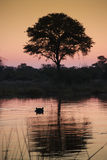 Khawi River in Botswana. Hippopotamus in the Khawi River in Botswana at dusk Stock Image