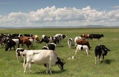 Kühe Stockbild
