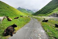 Kühe auf alpiner Weide Stockbild