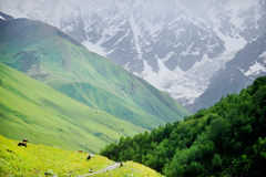 Kühe auf alpiner Weide Lizenzfreie Stockfotografie