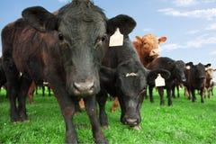 Kühe auf Bauernhof Lizenzfreie Stockfotos