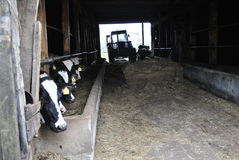 Kühe auf Bauernhof Stockfotos