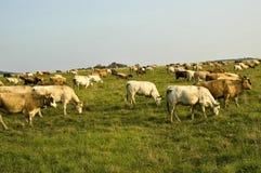 Kühe auf dem Feld Stockfotos