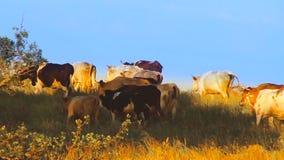 Kühe auf dem Gebiet stock video footage
