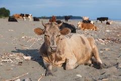 Kühe auf dem Strand Lizenzfreie Stockfotos