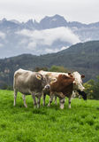 Kühe auf einer grünen Alpenwiese Lizenzfreies Stockfoto