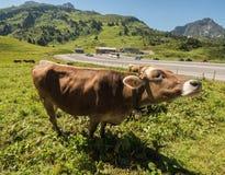 Kühe in den Bergen Stockfotos