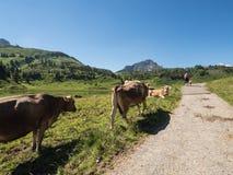 Kühe in den Bergen Lizenzfreies Stockbild