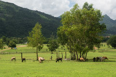 Kühe, die auf einem grünen Sommer weiden lassen Lizenzfreie Stockfotografie