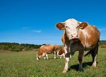 Kühe, die auf Sommerfeld weiden lassen Stockfotos
