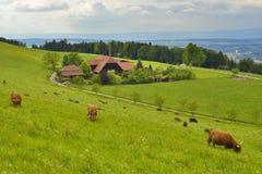 Kühe, die Gras mit Bergen und Himmel im Hintergrund essen Stockbild