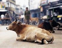 Kühe in Indien Lizenzfreies Stockbild