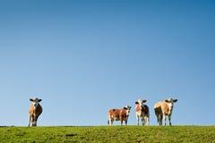 Kühe mit blauem Himmel Lizenzfreie Stockbilder