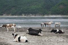 Kühe und Pferde auf Flussbank Stockbild