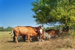 Kühe verstecken sich im Schatten von Büschen Sonniger Tag auf dem Bauernhof Mittagshitzeweiden Stockbilder