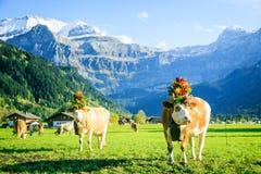 Kühe verziert für das Aelplerfest Lizenzfreie Stockfotos