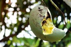 Khiaosawoey μάγκο που πελεκιέται στοκ εικόνα με δικαίωμα ελεύθερης χρήσης