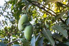 Khiaosawoey mango på träd Royaltyfri Foto