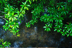 Khlong Song Nam clear tropical stream, Krabi, Thailand Royalty Free Stock Image