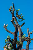 KHMELNITSKY, UKRAINE - JULY 29, 2017: Tree with chopped branches. Against clear blue sky Royalty Free Stock Images