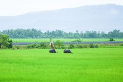 Khmer boy standing on water buffalo in green paddy field in rain stock photography