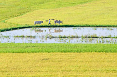 Khmer farmer and cows walking on rice field in the early morning Stock Image