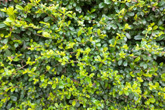 The Khoi. Green background branches of siamese rough bush Stock Images