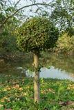 Khoi Siamese grov buske i parkera Fotografering för Bildbyråer