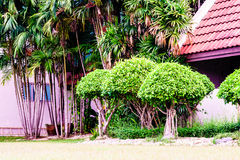 Khoi Siamese rough bush in the public park. Royalty Free Stock Photography