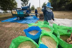 Thai farmer collect the rice in big bags during the harvest season, in a rice field in northeastern Thailand during the harvest pe Royalty Free Stock Image