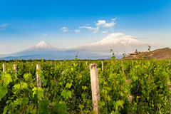 Khor Virap and Mount Ararat. Grape field in Ararat valley. View of Khor Virap and Mount Ararat Royalty Free Stock Images