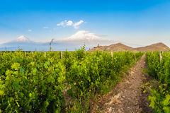 Khor Virap and Mount Ararat. Grape field in Ararat valley. View of Khor Virap and Mount Ararat Stock Image