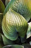 Khosta. Colorful leaves of a plant close up stock photos