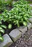 Khosta Funkiya wavy (Hosta undulata (Otto et Dietr. (Bailey)), a grade of Univittata grows al Royalty Free Stock Images