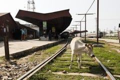 Khulna, Bangladesh, el 28 de febrero de 2017: Una vaca se coloca en las vías en la estación de tren imagen de archivo