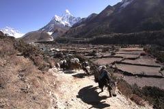 KHUMBU HIMAL, NEPAL-DEC 2013: Caravan of Yaks Stock Photography