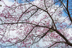 Khun Chang Kian. Pink flower with a blue sky, Thai call 'Khun Chang Kian' is a wWld Himalayan Cherry in Chaingmai, THAILAND Stock Photo