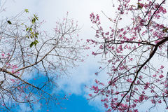 Khun Chang Kian. Pink flower with a blue sky, Thai call 'Khun Chang Kian' is a wWld Himalayan Cherry in Chaingmai, THAILAND Stock Photography