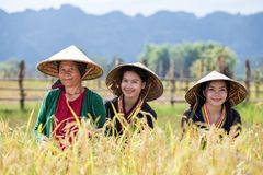 KhunKham Khammouane Laos. Farmer family working in rice field harvesting jasmine rice and happy this is lifestyle people in rural stock photos