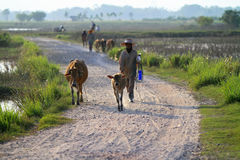 Khunpepe029. Nakhon Si Thammarat, Thailand - FEBRUARY 18, 2011 : Local farmers lead a herd of cows down the road Stock Image