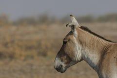 Khur hemionus Equus одичалого ишака на меньшем rann kutch Стоковая Фотография