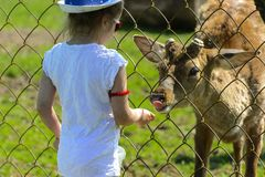 Khust, Ukraine - April 28, 2018. A little girl feeds a young dee. R in a zoo in the summer during the moulting period against a background of green grass. Scary royalty free stock image