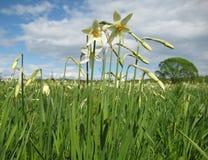khustenarcissusesukraine dal Royaltyfria Bilder