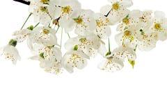 Kiść świeży biały wiosny okwitnięcie obraz stock
