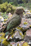 Kia. The only Alpine parrot, New Zeland Royalty Free Stock Images