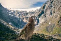 Kia, New Zealand`s native parrot in front of snow-capped Mount T. Albot on Milford highway, close to Homer Tunnel in Fiordland National Park, New Zealand, South Stock Image