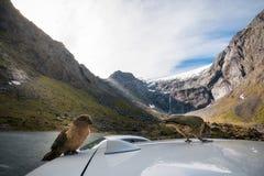 Kia, perroquets indigènes du ` s du Nouvelle-Zélande sont très curieux au sujet des touristes photos stock